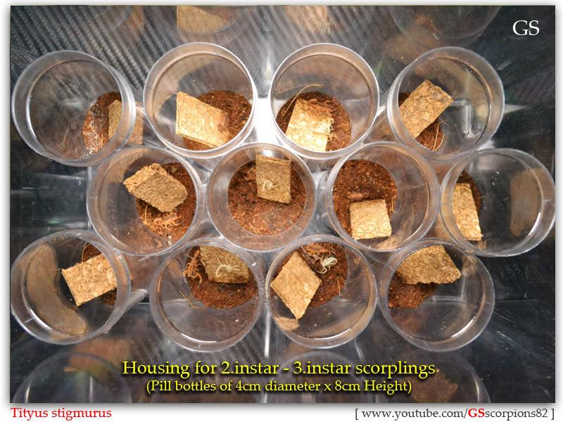 [ASA] Bark Scorpions' Caresheet Tityus_stigmurus_110512_pic1