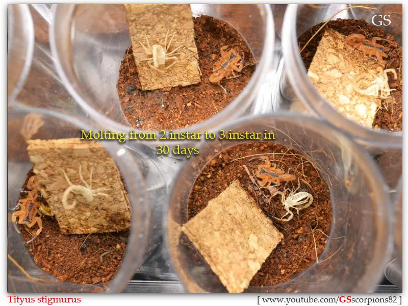 [ASA] Bark Scorpions' Caresheet Tityus_stigmurus_110512_pic2