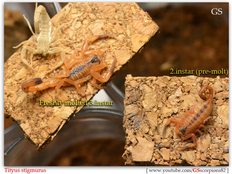 [ASA] Bark Scorpions' Caresheet Tityus_stigmurus_110512_pic5