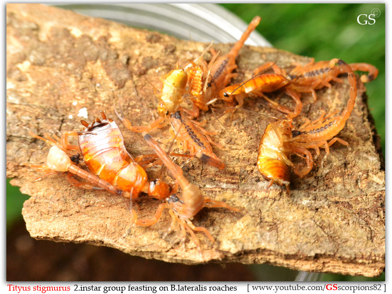 [HOW TO] Guide to Feeding Young Scorpions Tityus_stigmurus_2i_group_by_GS