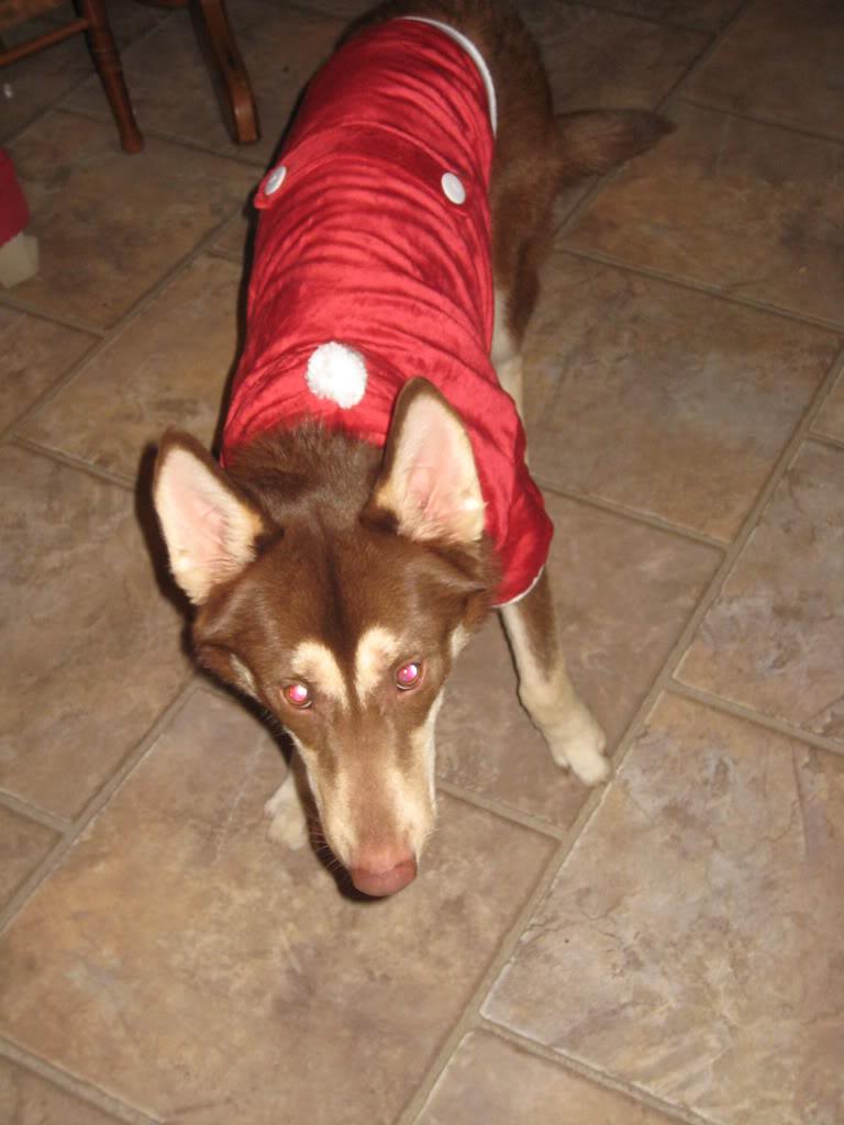 Comedic Husky Picture Thread - Page 2 Santasuit112-5-101