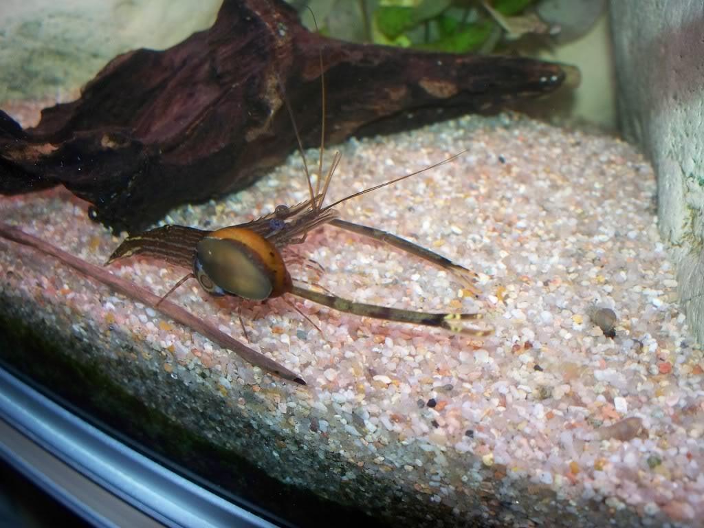 identification d'une crevette - Macrobrachium. 100_0823
