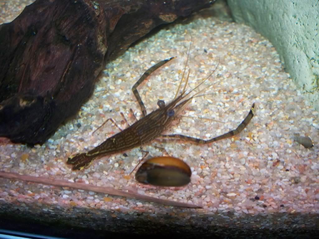 identification d'une crevette - Macrobrachium. 100_0824