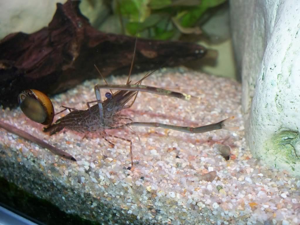 identification d'une crevette - Macrobrachium. 100_0829