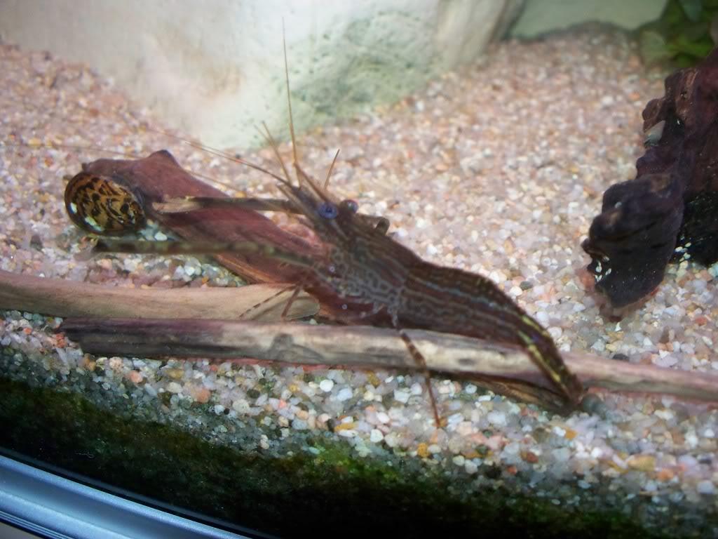 identification d'une crevette - Macrobrachium. 100_0831