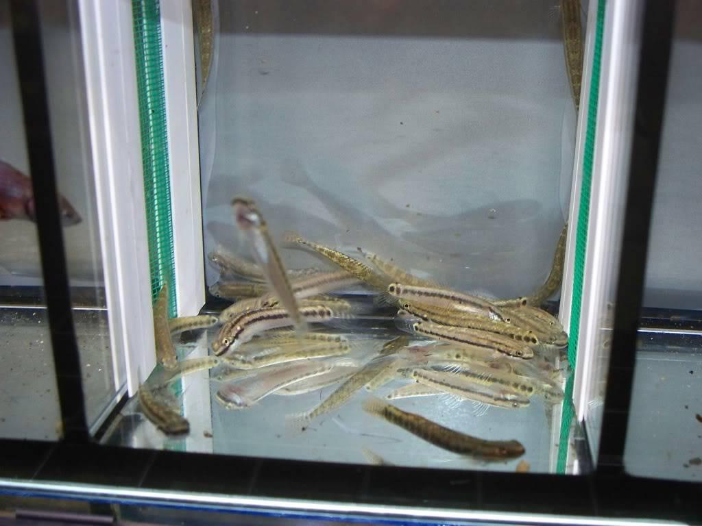 stiphodons espèces à identifier 67808277