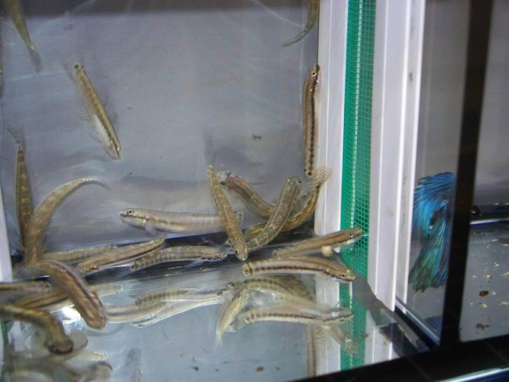 stiphodons espèces à identifier 963f5121
