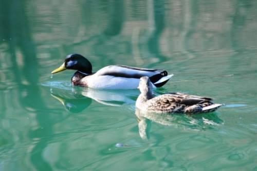 Some Duck Pictures from 4/6/13 A3a0b645-bef3-4329-b2f0-7612c858b33e_zpsaa923010