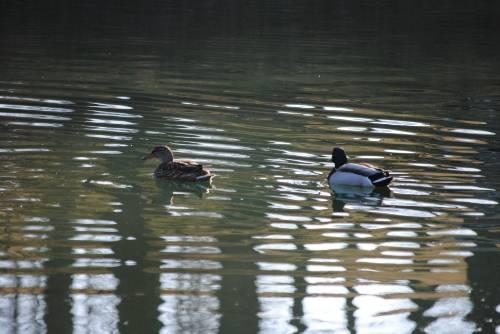Some Duck Pictures from 4/6/13 F25abcc6-d87e-4ef5-8a48-21f0c09c3229_zps27d819a8