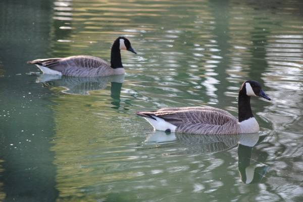 Some Goose Pictures from 4/6/13 Fda55a98-0cc5-41c6-ae2b-728daf49dad1_zps3ba433a3