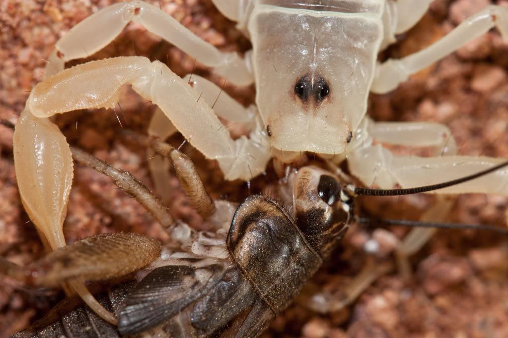 [Sharing] Your top 5 scorpions ?? Smeringusmesaensismacrosmall_edited-1-1