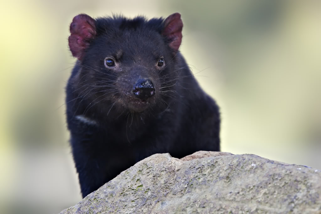 About Tasmanian Devils Anaspides208053201020Oct202009