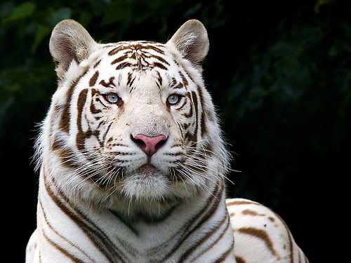 White Tiger and Wild Cat White-tiger