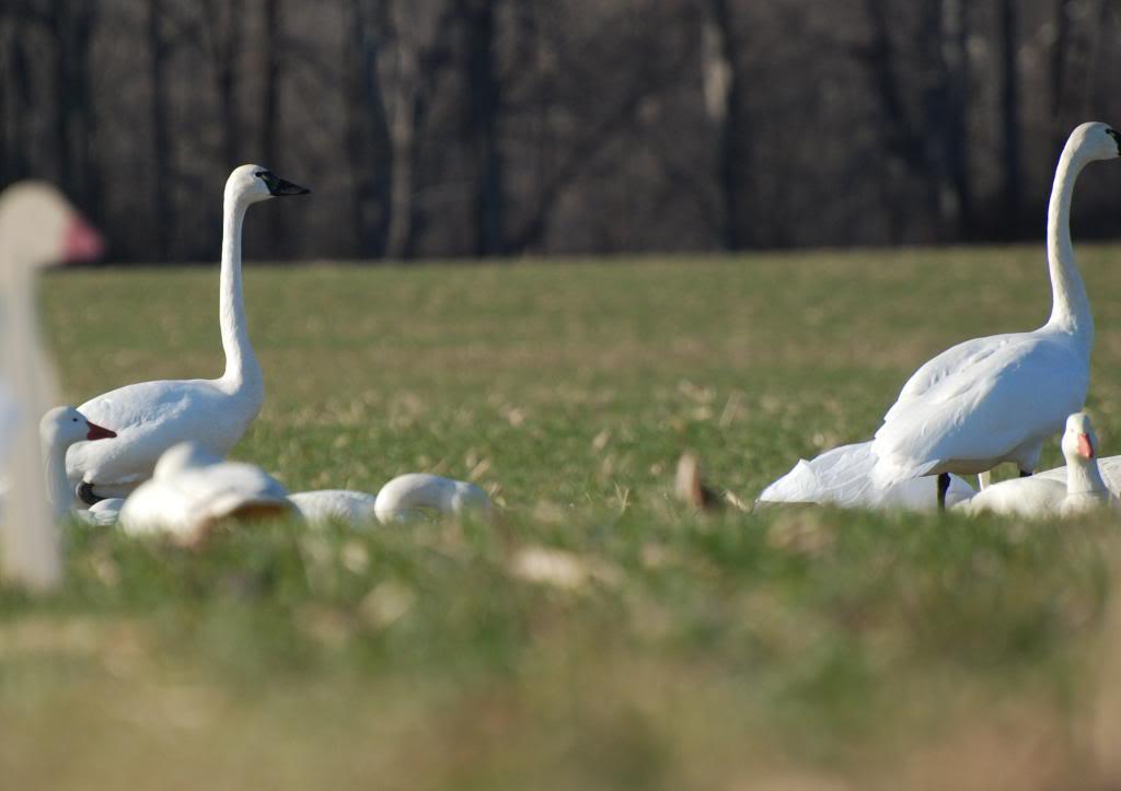 Surprise visitors Swansindekes_zps3399562d