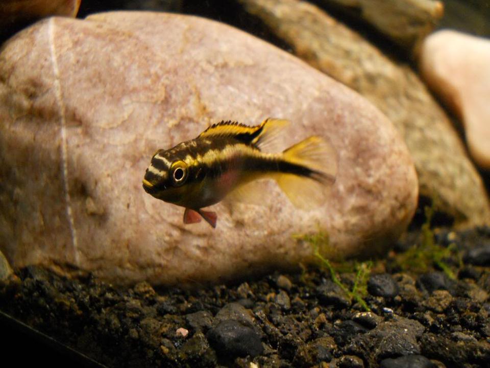 Pelvicachromis Taeniatus Moliwe DSCN0027