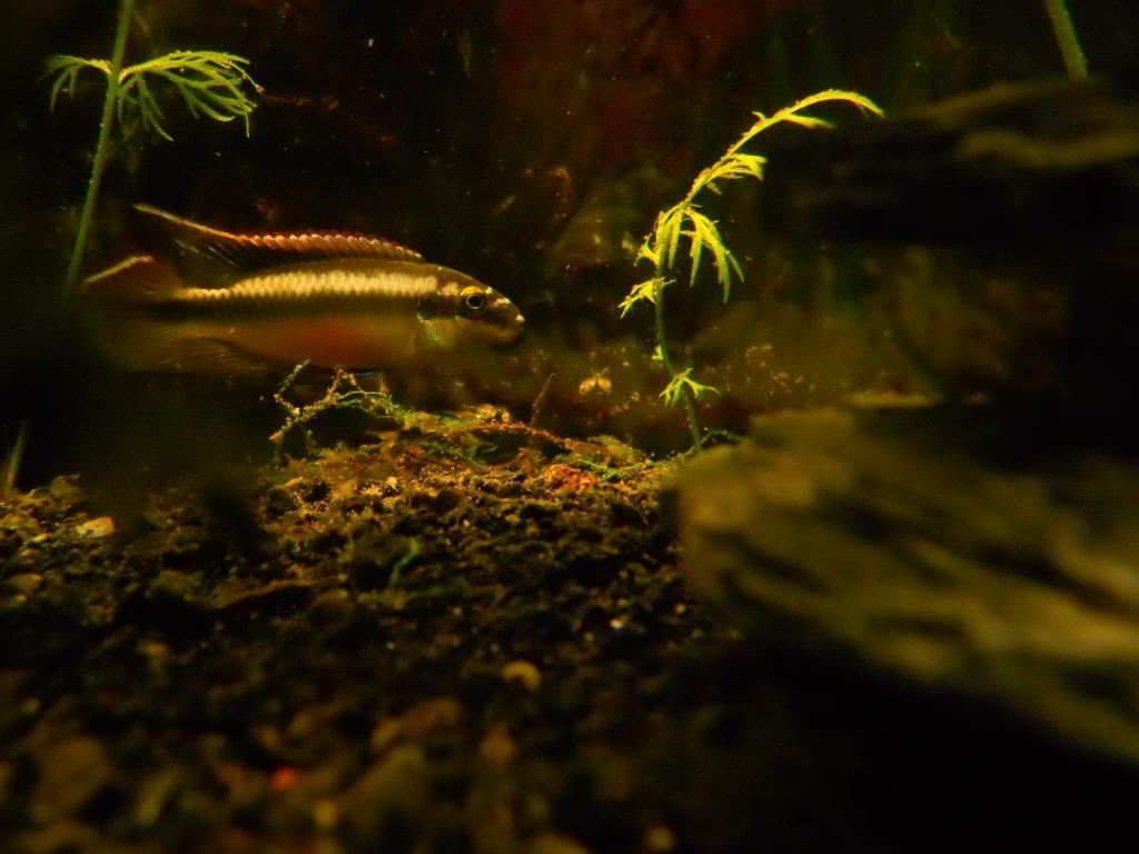 Pelvicachromis Taeniatus Moliwe DSCN0079