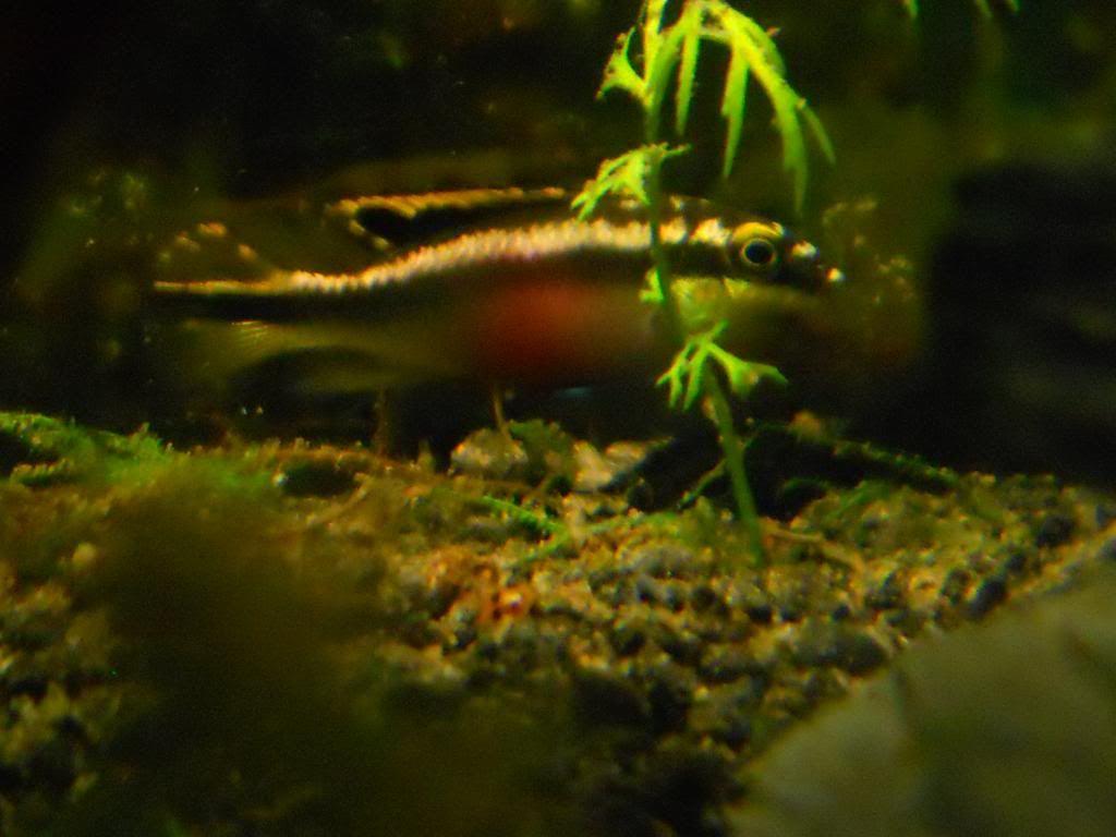 Pelvicachromis Taeniatus Moliwe RSCN0083