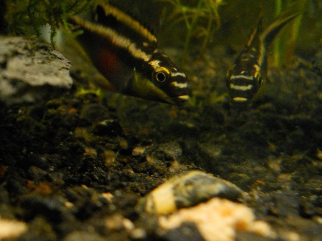 Pelvicachromis Taeniatus Moliwe RSCN0097