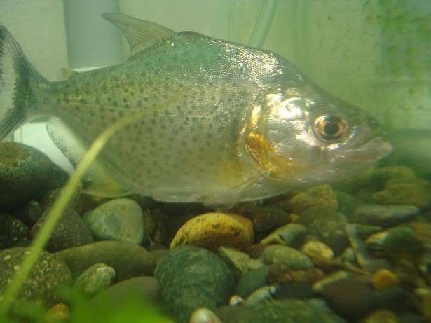 my  piranha rhombeus Pr2