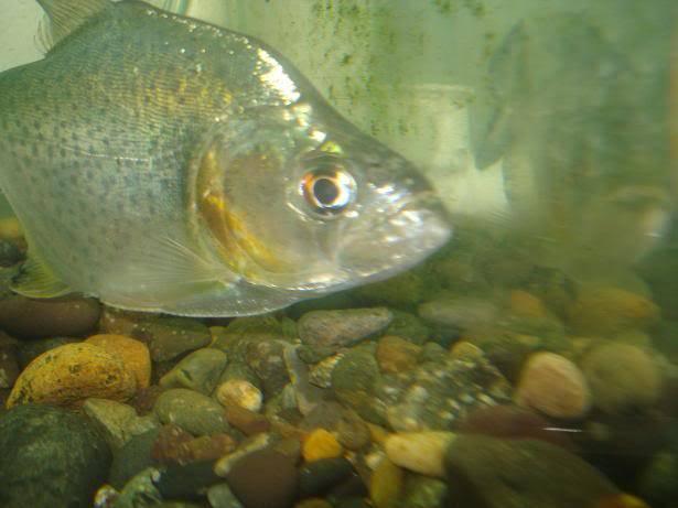 my  piranha rhombeus Pr3l