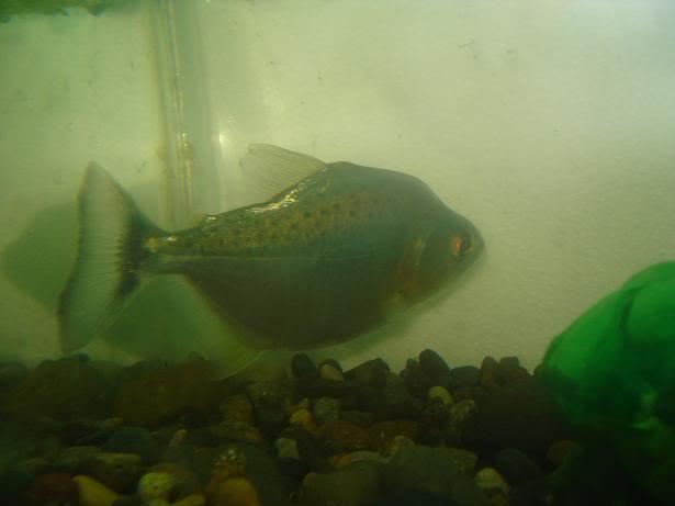 my  piranha rhombeus Rhombeus3