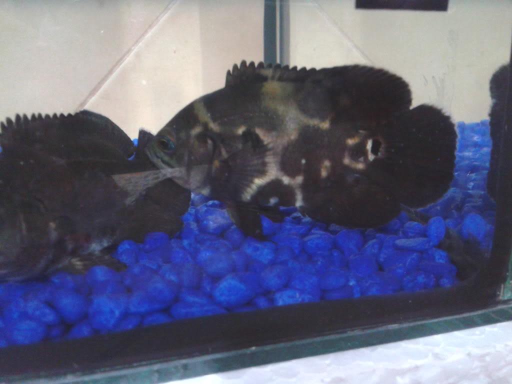 Presento mis peces 2012-11-07230011