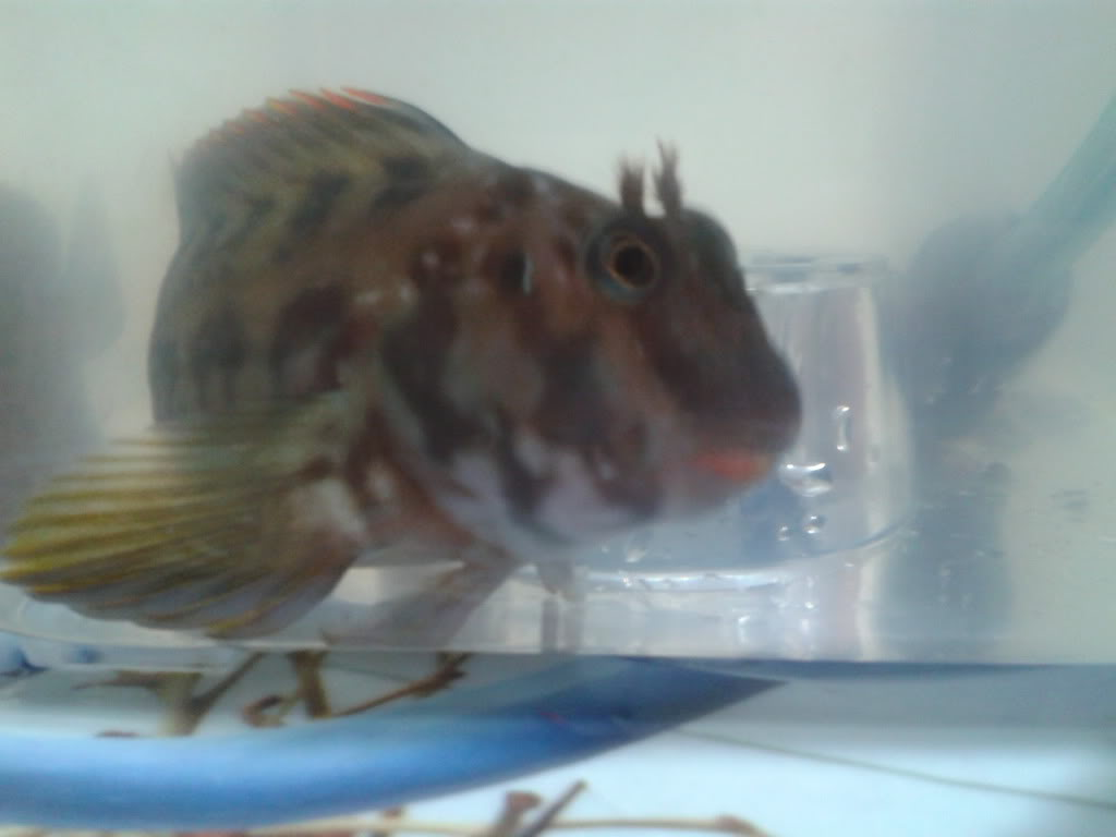 Ayuda para identificar este pez 2013-04-08001820_zpsed9b4b0b