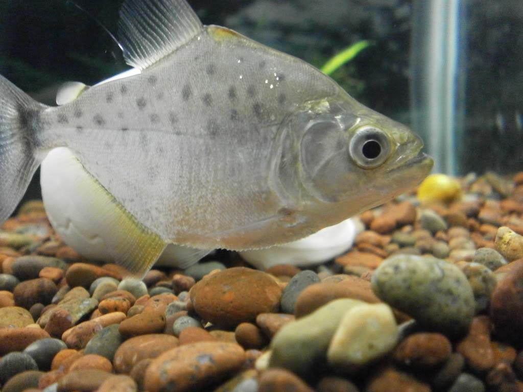 Presento mis peces PC120009