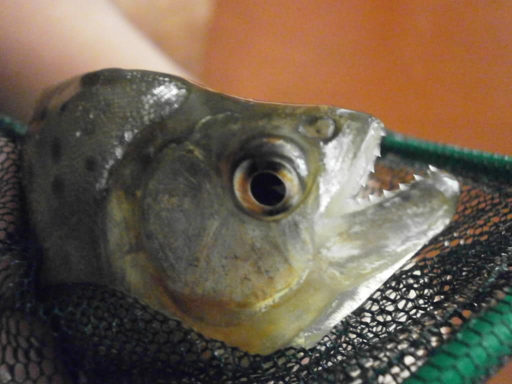 Presento mis peces PC160024