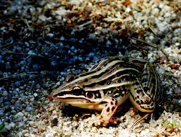 Algunos anfibios autóctonos Saltadora