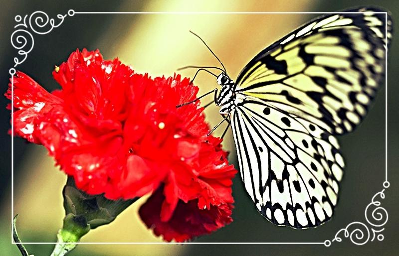 photo A-Paper-Kite-butterfly-is-016_zpsldsftpum.jpg
