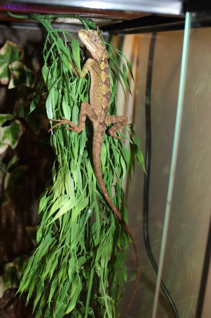 new little friend chinese tree dragon IMG_4314