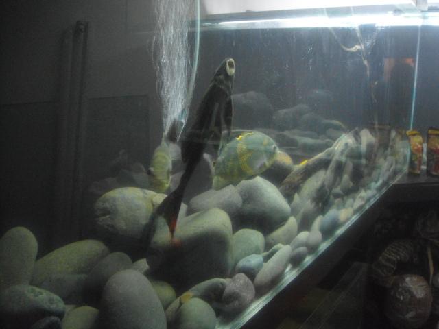 """acuario en  """"L """"  1600 litros etapa final - Página 3 DSC035702_zps37ce23a1"""