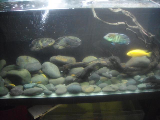 """acuario en  """"L """"  1600 litros etapa final - Página 3 DSC035902_zps3e59a92e"""