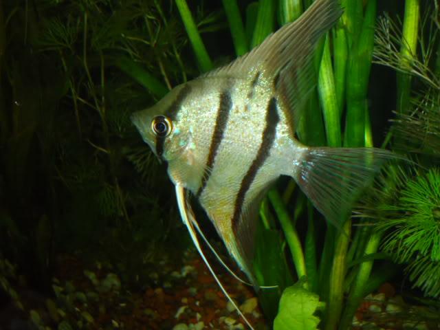 mi nuevo acuario de 220x80x40  largo,alto.ancho...ave fenix Nuevoacuario048