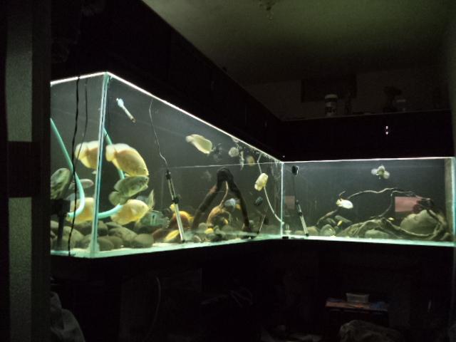 """acuario en  """"L """"  1600 litros etapa final - Página 4 Peces13_zps5db12289"""