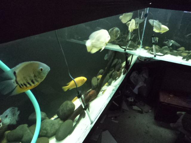 """acuario en  """"L """"  1600 litros etapa final - Página 4 Saba_zps3c121073"""