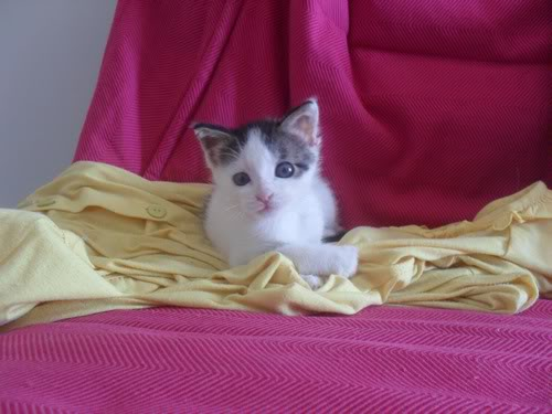 Xαρίζονται 2 φουντωτά γατάκια, 30ημερών ! - Σελίδα 10 22-4007--