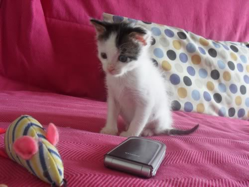 Xαρίζονται 2 φουντωτά γατάκια, 30ημερών ! - Σελίδα 8 999009-