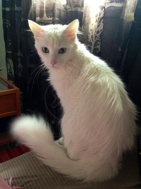 χαρίζεται γάτα αγκύρας λευκή! 013916_281332_x_zpsb546e9fa