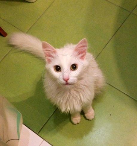 χαρίζεται γάτα αγκύρας λευκή! 013919_771325_x_zps612d0b26