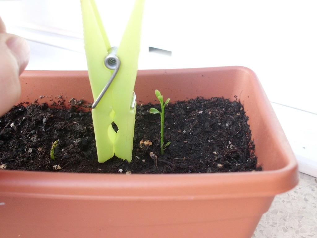 Semillas de naranjo y limonero chino. CIMG4163