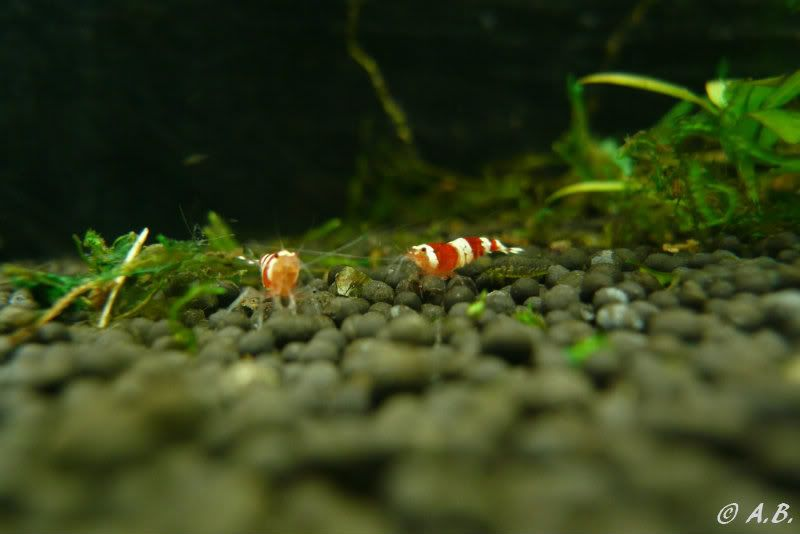 Loaches 4ft ADA style tank & Loaches Shrimp :-) - Page 2 2CRS