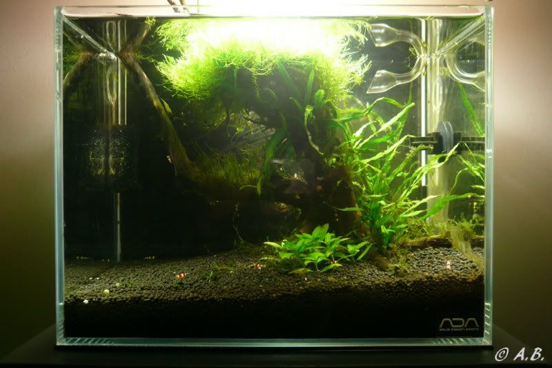 Loaches 4ft ADA style tank & Loaches Shrimp :-) - Page 2 ADAMINISAugust19thFTS