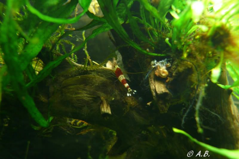 Loaches 4ft ADA style tank & Loaches Shrimp :-) - Page 2 CRSonTree