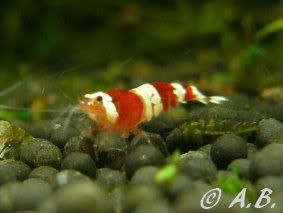 Loaches 4ft ADA style tank & Loaches Shrimp :-) - Page 2 CrystalRedShrimpSGrade