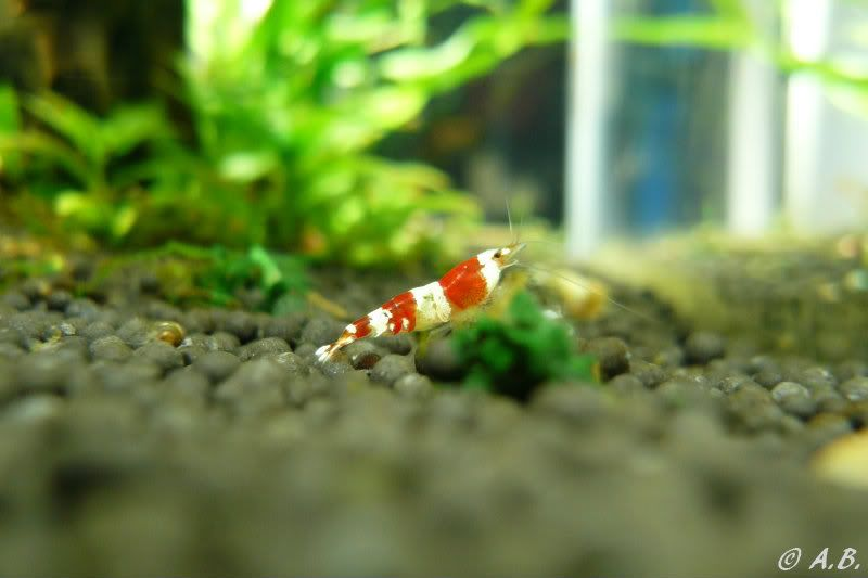 Loaches 4ft ADA style tank & Loaches Shrimp :-) - Page 2 SKF_LibrarySGradeCRS