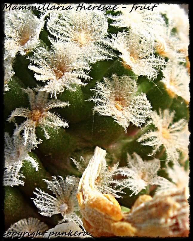 Mammillaria theresae IMG_0273