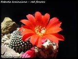Cactus mini landscaping with Mammillaria Th_IMG_0036-3