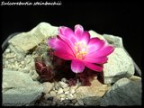 Cactus mini landscaping with Mammillaria Th_IMG_0038-1